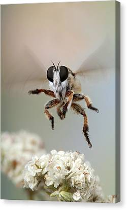 Assassin Fly Leaving Buckwheat Blossoms Canvas Print