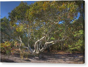 Asseteague Island Oak Canvas Print