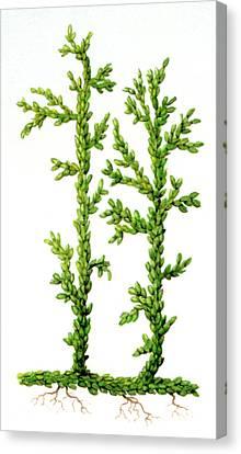 Asteroxylon Sp. Prehistoric Plant Canvas Print