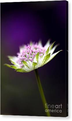 Astrantia Buckland Flower Canvas Print by Tim Gainey
