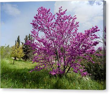 Canvas Print featuring the photograph At Full Blossom by Uri Baruch