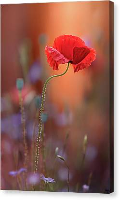Orange Poppies Canvas Print - At The End Of The Day. by Steve Moore