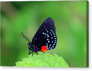 Atala Butterfly Canvas Print by Sean Allen