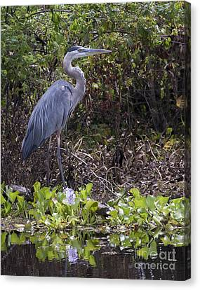 Atchafalaya Swamp Blue Heron Canvas Print by D Wallace
