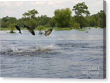 Atchafalaya Swamp Jumping Fish Canvas Print by D Wallace