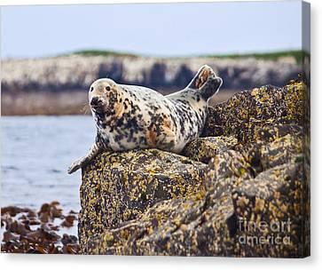 Atlantic Grey Seal Halichoerus Grypus Canvas Print by Liz Leyden