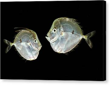 Atlantic Moonfish Selene Setapinnis Canvas Print by Dant� Fenolio
