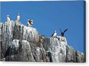Atlantic Puffin Canvas Print by Ashley Cooper