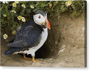 Atlantic Puffin At Burrow Skomer Island Canvas Print