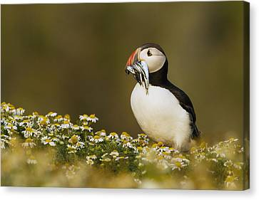 Puffin Canvas Print - Atlantic Puffin Carrying Fish Skomer by Sebastian Kennerknecht