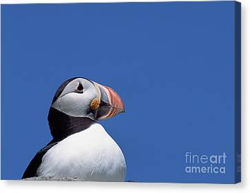 Atlantic Puffin In Breeding Colors Canvas Print by