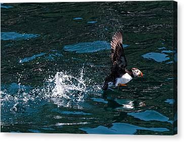 Atlantic Puffin Taking Off Canvas Print by Perla Copernik