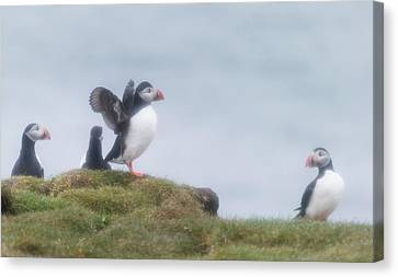 Atlantic Puffins Fratercula Arctica Canvas Print