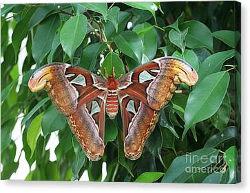 Canvas Print featuring the photograph Atlas Moth #2 by Judy Whitton
