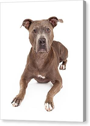 Attentive American Staffordshire Terrier Dog Laying Canvas Print by Susan Schmitz