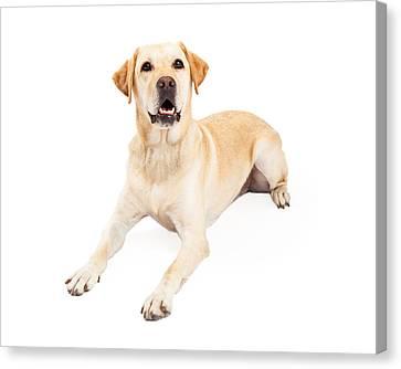Attentive Labrador Retriever Dog Laying Canvas Print by Susan Schmitz