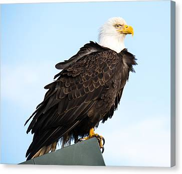 Attractive Bald Eagle Canvas Print by Debra  Miller