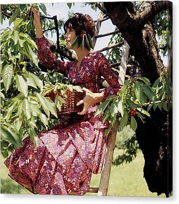 Audrey Hepburn Picking Cherries In Her Orchard Canvas Print