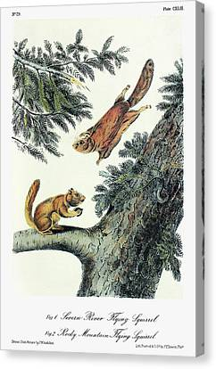 Audubon Flying Squirrel Canvas Print by Granger