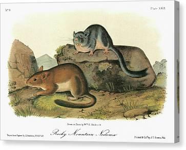 Audubon Woodrat Canvas Print