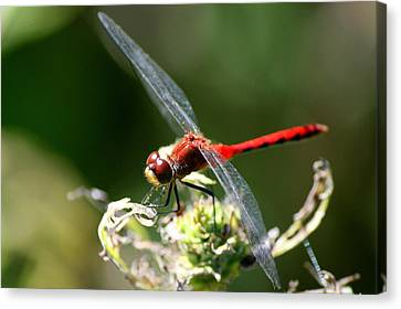 Insects Canvas Print - August Dragonfly  by Neal Eslinger