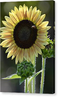 August Sunflower Canvas Print by P S