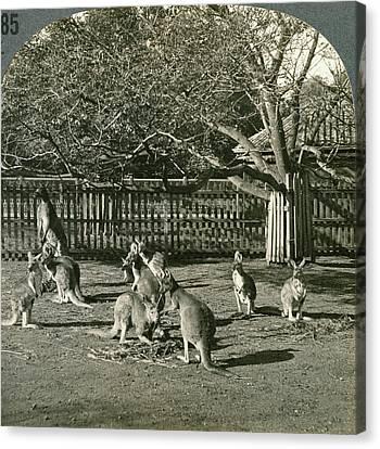 Australia Kangaroos, C1910 Canvas Print by Granger