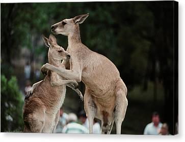 Australia, Queensland, Kangaroo (large Canvas Print by Peter Skinner
