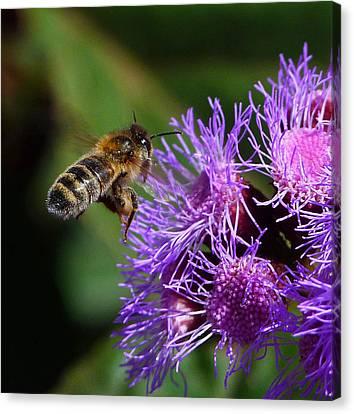 Australian Bee Arriving At Flower Canvas Print