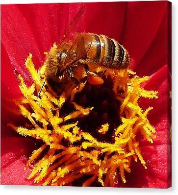 Australian Bee Enjoying Dahlia Pollen Canvas Print