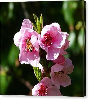 Australian Bee Enjoying Pollen In Springtime Canvas Print