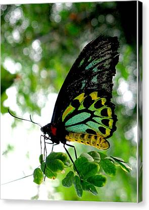 Australian Butterfly Cairns Birdwing Ornithoptera Priamus Canvas Print by  Andrea Lazar