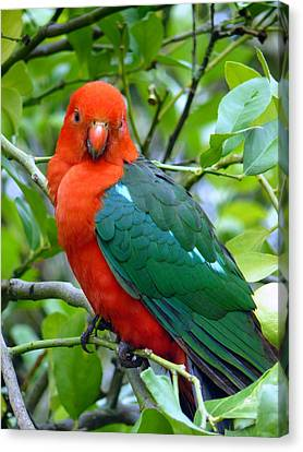 Canvas Print featuring the photograph Australian King Parrot Portrait by Margaret Stockdale