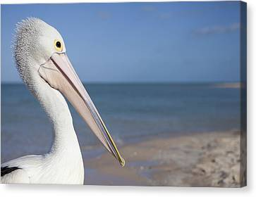 Australian Pelican Canvas Print by Science Photo Library