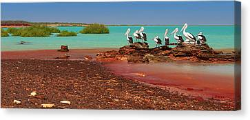 Australian Pelicans Roebuck Bay Canvas Print by Martin Willis