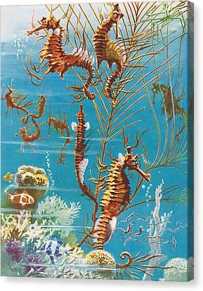 Australian Seahorses Canvas Print by Leonard Robert Brightwell