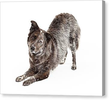 Australian Shepherd Mix Breed Dog Bowing Canvas Print by Susan Schmitz