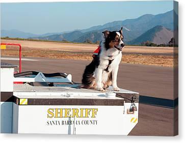 Search And Rescue Canvas Print - Australian Shepherd Search And Rescue by Zandria Muench Beraldo