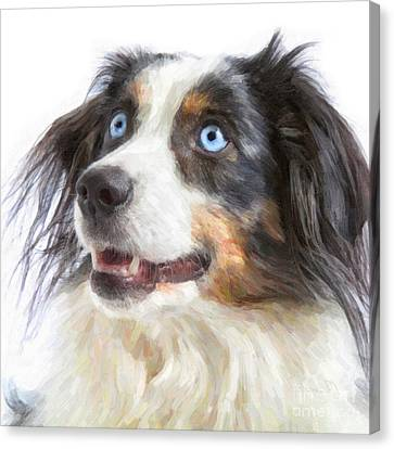 Australian Shepherd Canvas Print by Verena Matthew