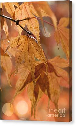 Autumn Acer Canvas Print by Anne Gilbert