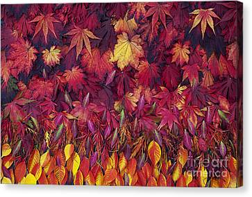 Autumn Acer Leaves Pattern Canvas Print by Tim Gainey