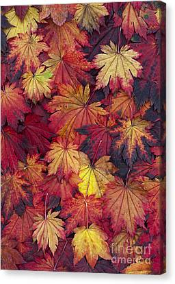 Autumn Acer Leaves Canvas Print by Tim Gainey