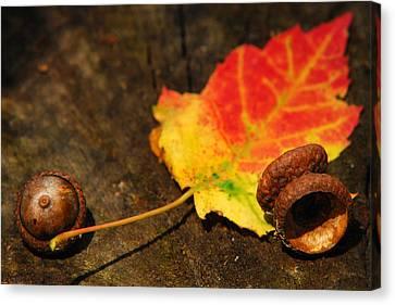 Autumn Acorns Canvas Print by Christina Rollo