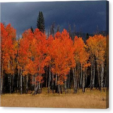 Autumn Aspen Canvas Print by Brenda Pressnall
