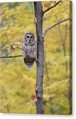 Autumn Barred Owl Canvas Print