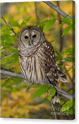 Autumn Barred Owl Canvas Print by Joshua Clark