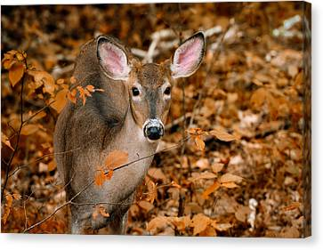 Tracy Munson Canvas Print - Autumn Buck by Tracy Munson