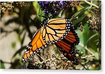 Autumn Butterfly Canvas Print