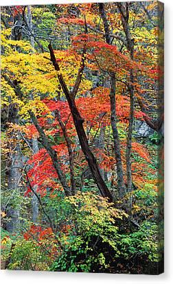 Autumn Color Japan Maples Canvas Print by Robert Jensen