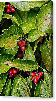 Autumn Dogwood Berries Canvas Print by Bellesouth Studio